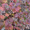 Hydrangea quercifolia 'Sikes Dwarf' (Foliage in fall/winter)