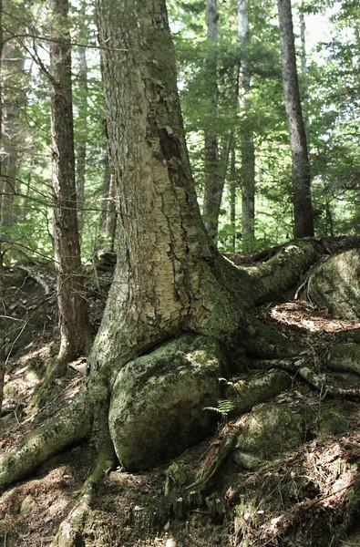 Rock in a Tree