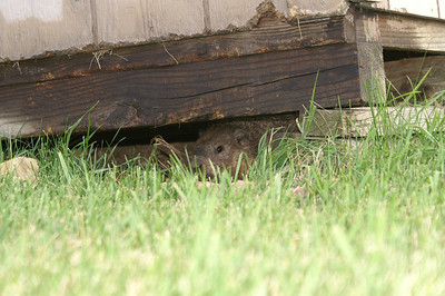 Our resident woodchuck!