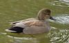 Gadwall Duck (Anas strepera)