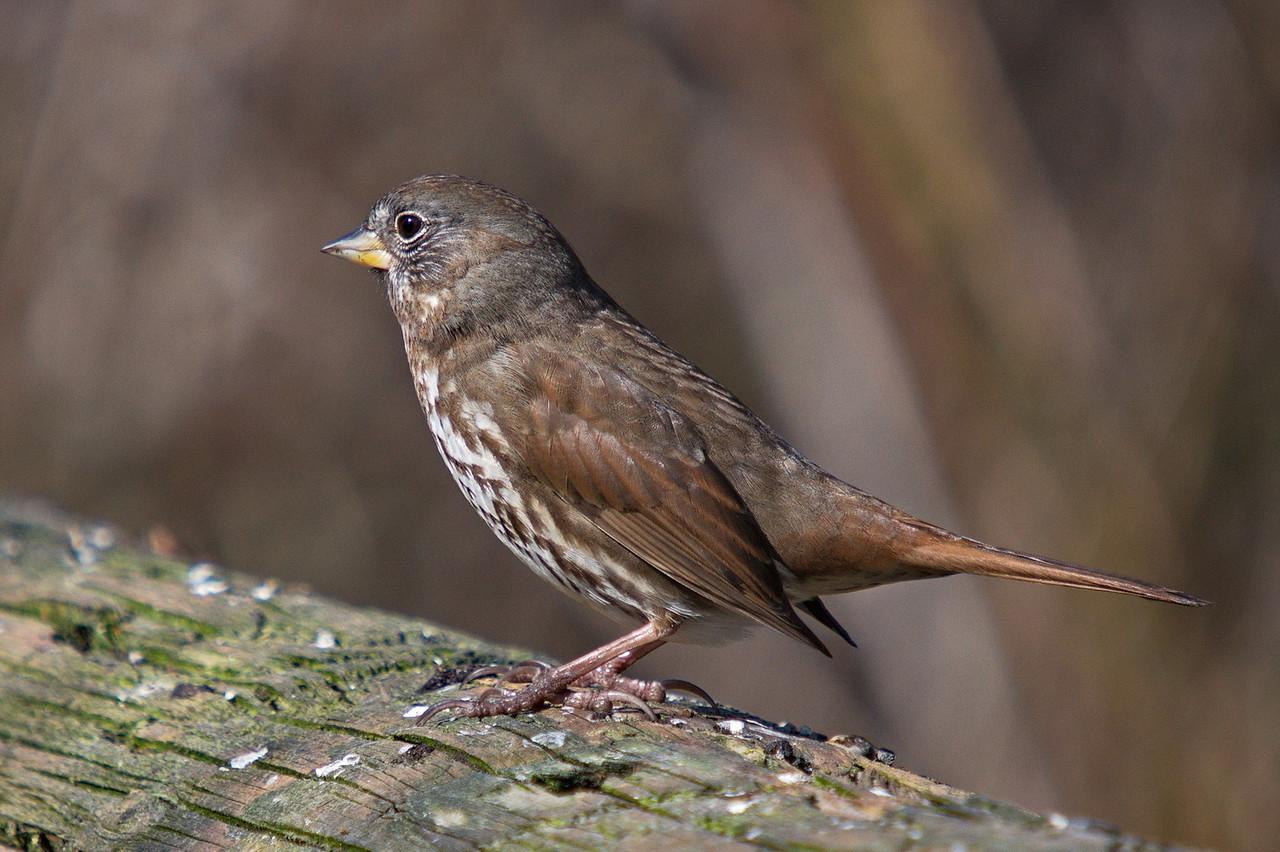 Fox Sparrow - at Richmond Nature Park