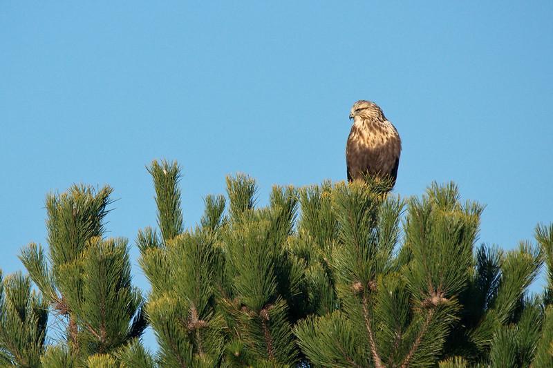 I'm told this is a Rough Legged Hawk.