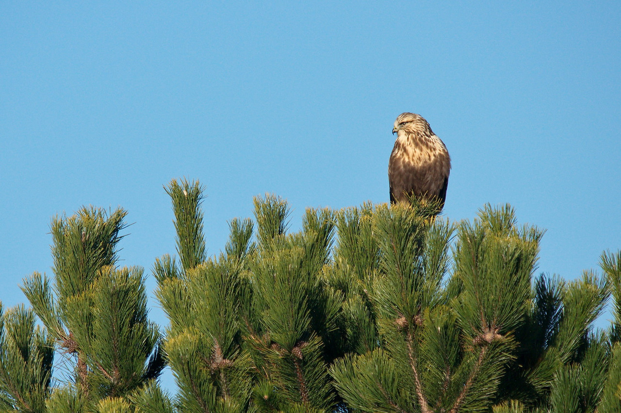 I'm told this is a Rough Legged Hawk.