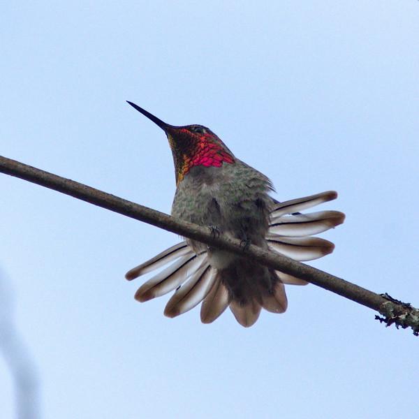 Anna's Hummingbird (male) at Richmond Nature Park