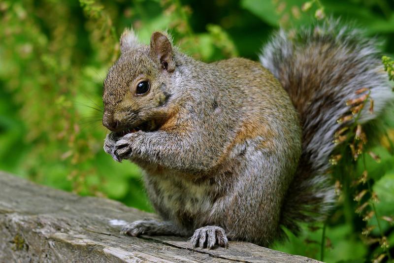 Non-native Gray Squirrel (female)