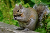 Non-native Gray Squirrel (female)