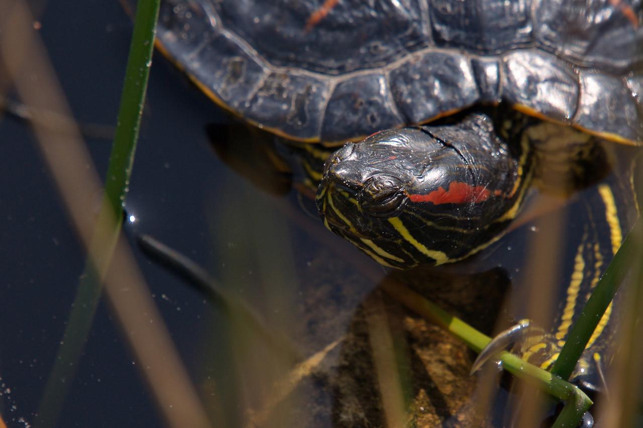 Painted turtle ?? At Richmond Nature Park