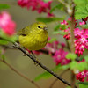 Orange Crowned Warbler at Richmond Nature Park