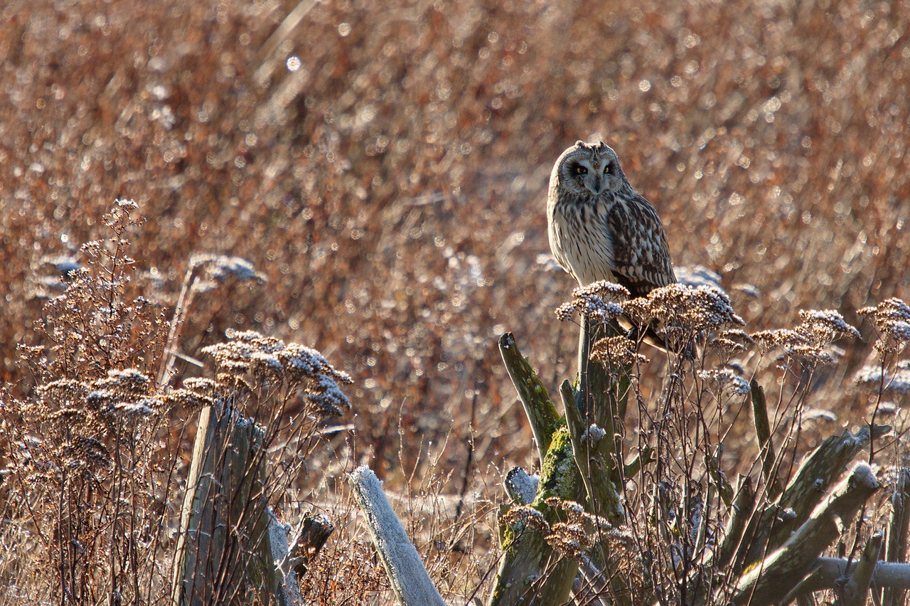Short Earred Owl at Boundary Bay