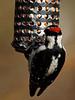 Downy Woodpecker (male) - back detail