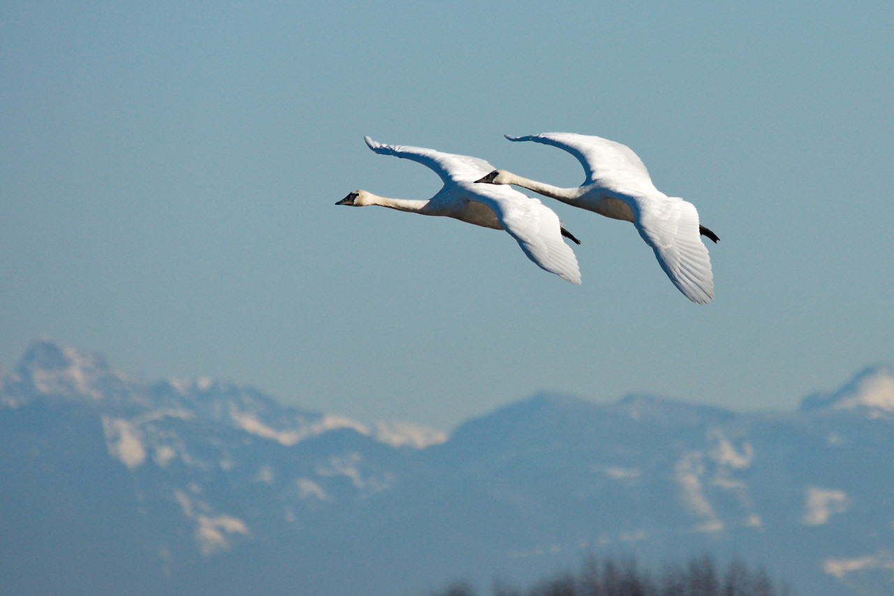 Trumpeter Swans in Delta BC