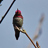 Anna's Hummingbird (male) in full war paint.