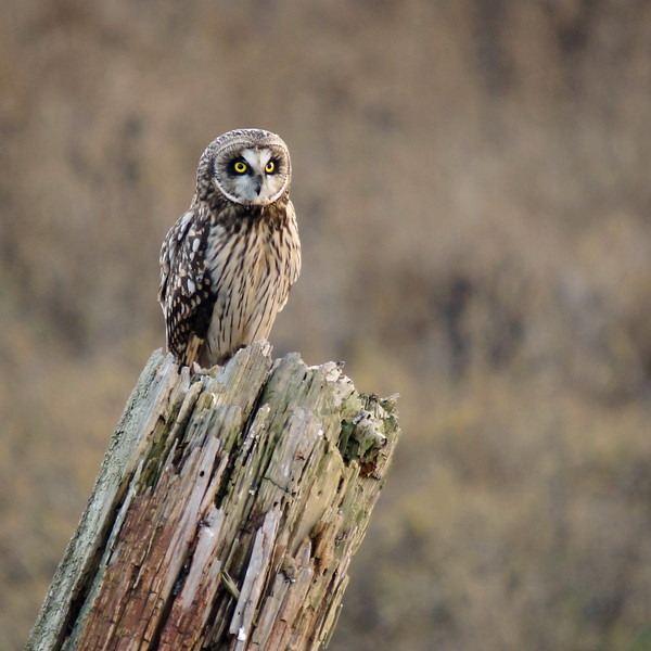 Short Earred Owl at Boundary Bay, Delta BC