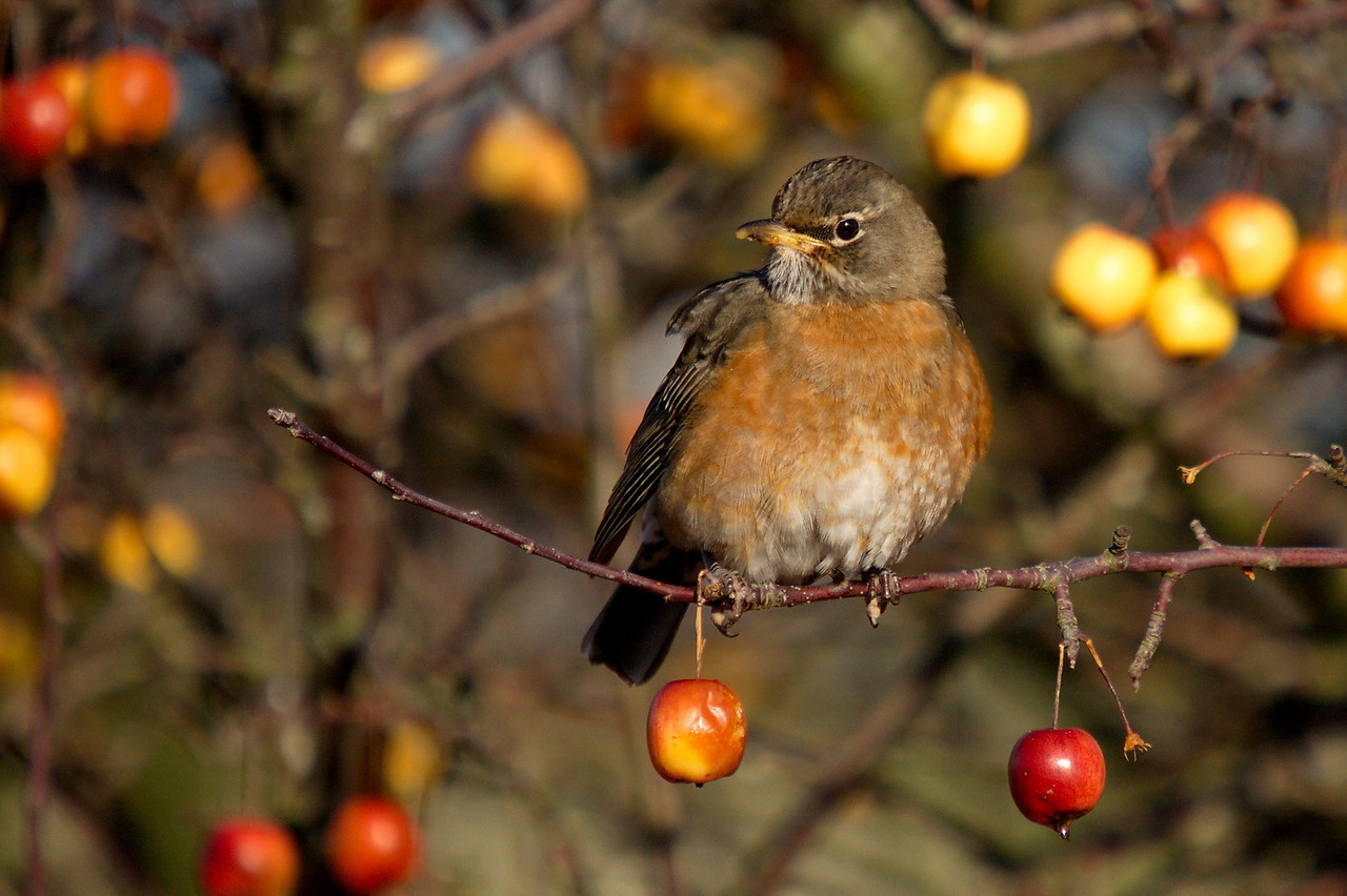 North American Robin at Boundary Bay