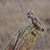 Short Earred Owl at Boundary Bay, Delta BC