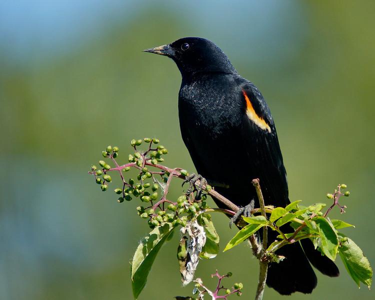 The Philanderer - Mr. Red Wing Blackbird