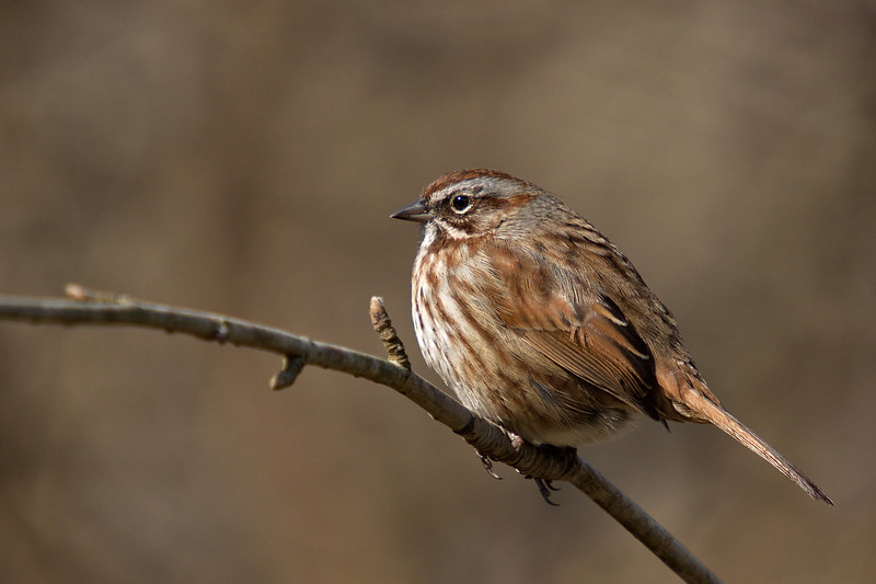 Song Sparrow - at Richmond Nature Park