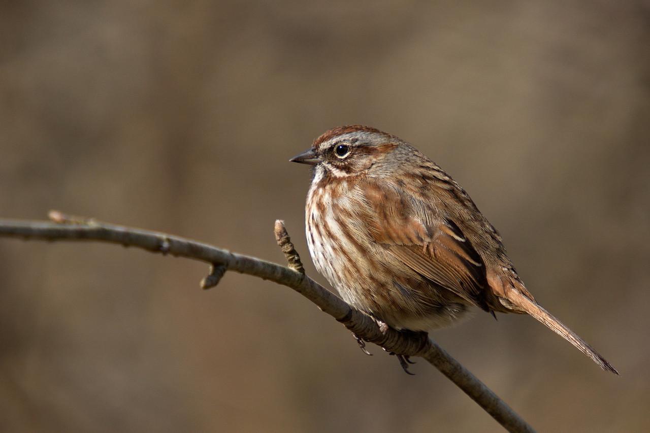 Song Sparrow - at Richmond Nature Park