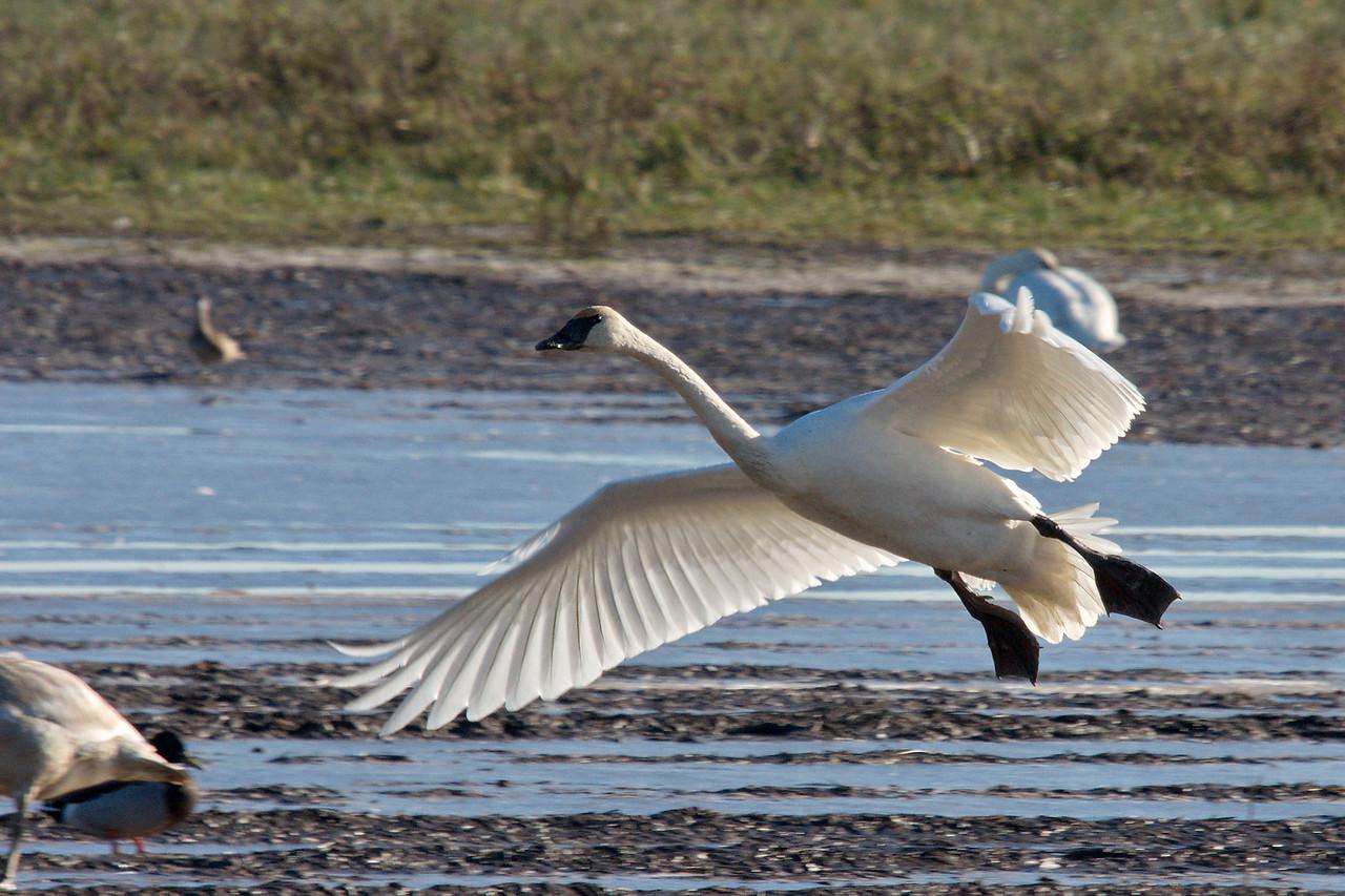 Trumpeter Swan in Delta BC