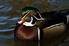Pretty Boy (Wood Duck)