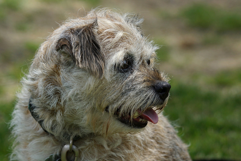 A friendly wire haired terrier of some sort.  Met at a soccer game.