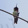 Anna's Hummingbird (male) at Richmond Nature Park - itchy beard!
