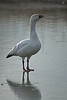 Where are you guys?  the lonely Snow Goose