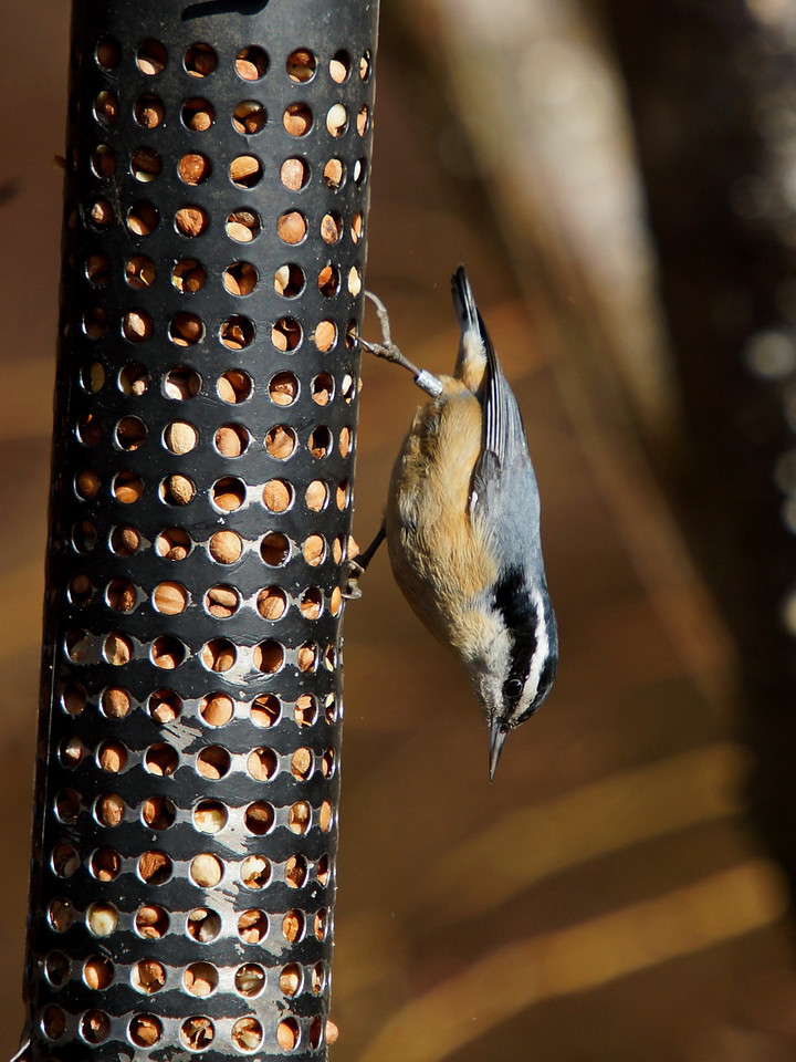 Yellow Bellied Nuthatch