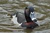 Ringneck Duck (male) at Reifel Bird Sanctuary