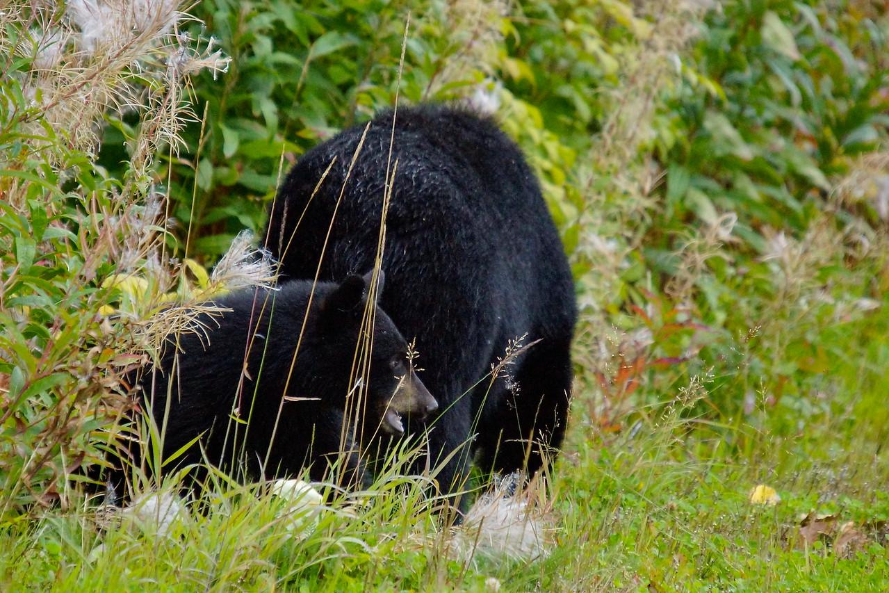 Black Bear mother & cub