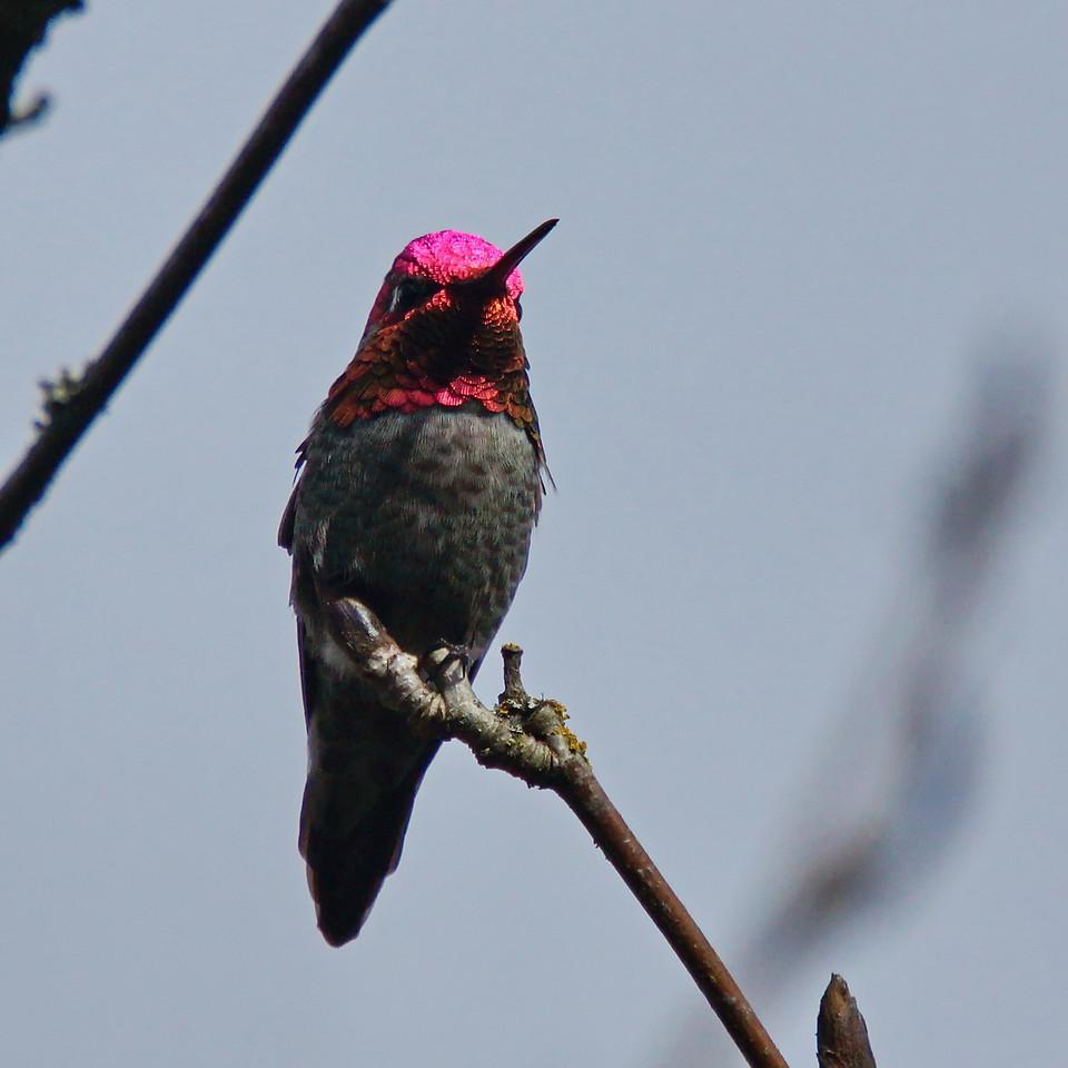 Anna's Hummingbird (male) in full war paint.