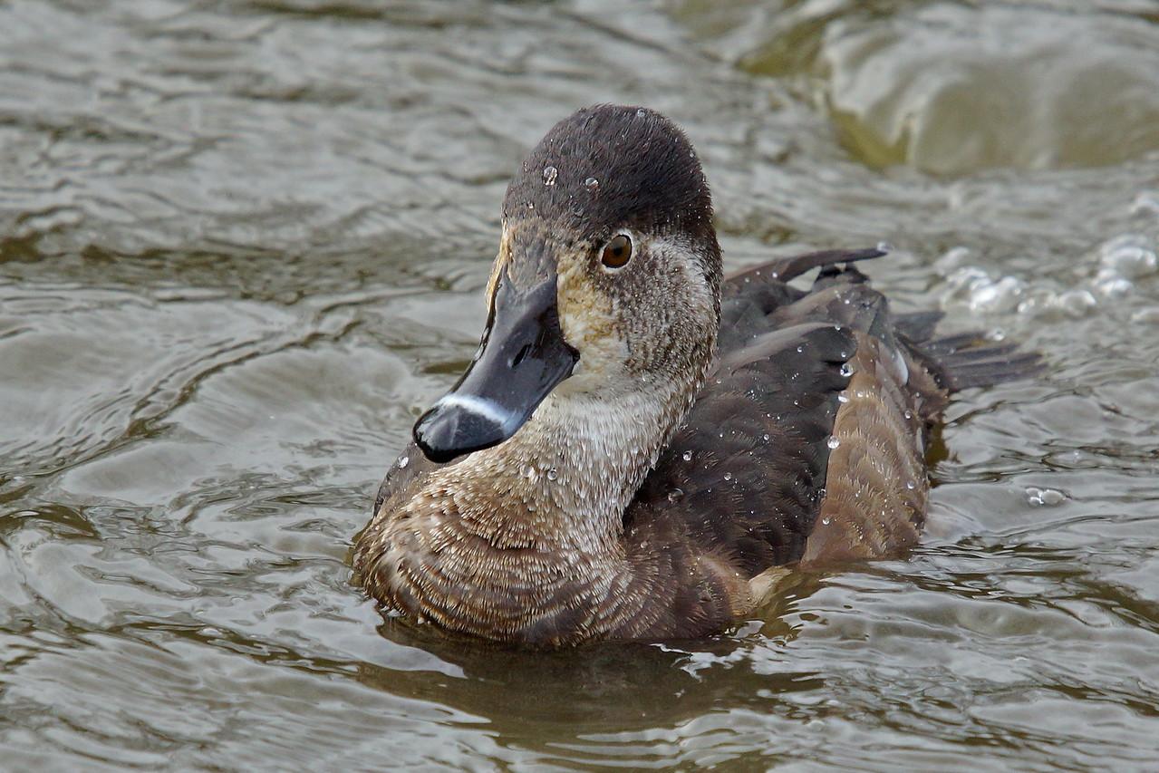 Ringneck Duck (female) at Reifel Bird Sanctuary