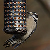 Downy Woodpecker (male) at RNP