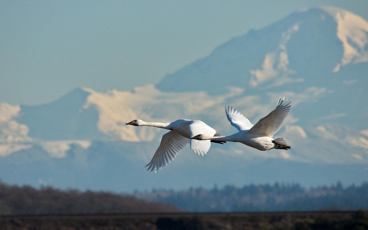 Trumpeter Swans - Mt Baker - Delta, B.C.