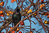 European Starling at Boundary Bay