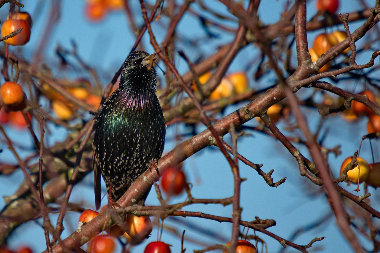 European Starling at Boundary Bay