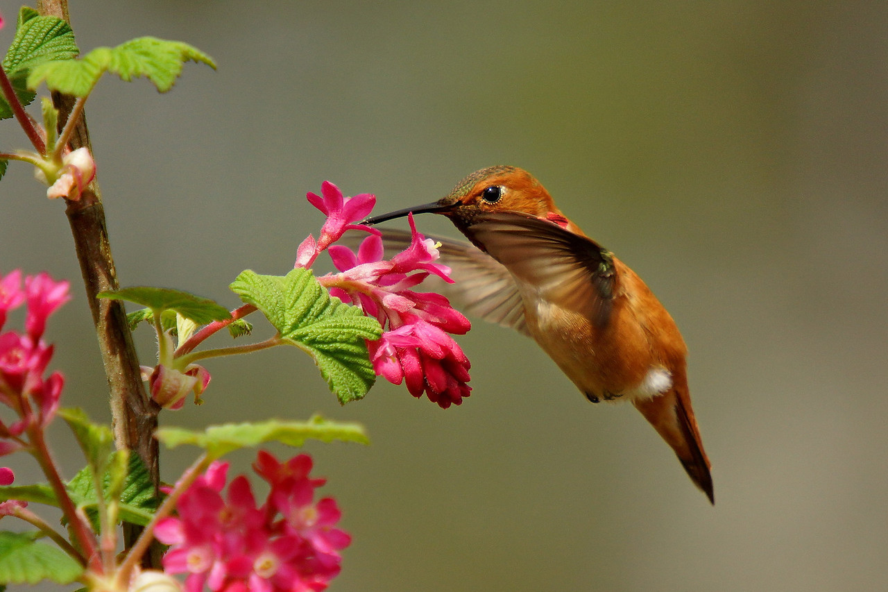 Male Rufous Hummingbird at Richmond Nature Park