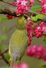 Orange Crowned Warbler at Richmond Nature Park
