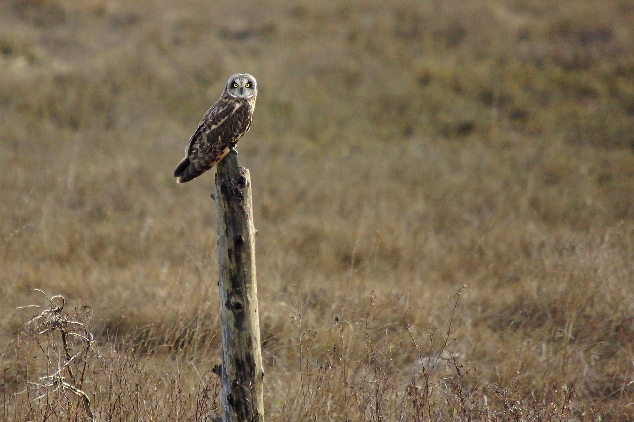 Short Earred Owl at Boundary Bay