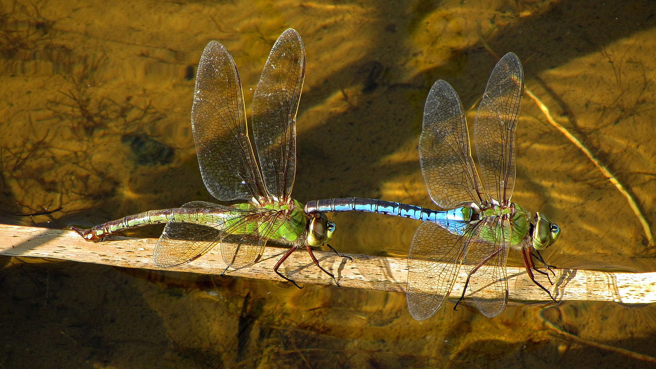 Common Green Darner (?) at Terra Nova, Richmond BC.  Male with blue thorax.