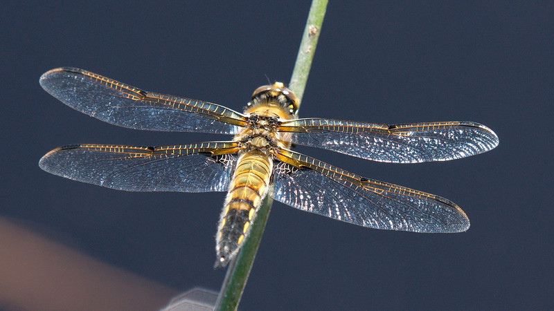 Four-Spotted Skimmer (Libellula quadrimaculata )