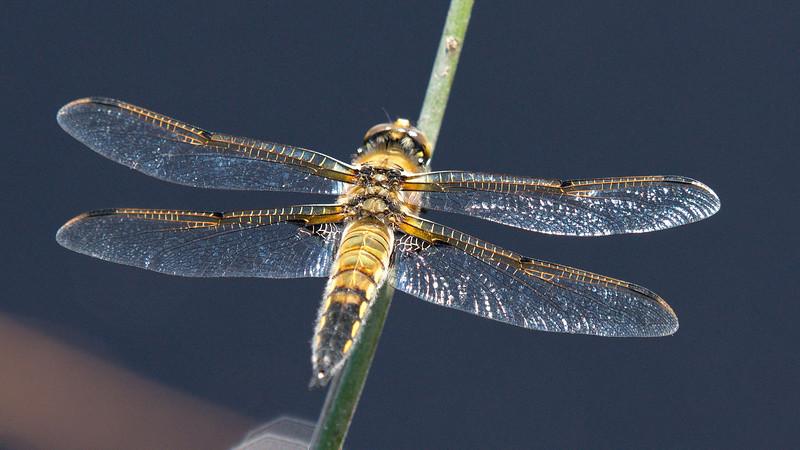 Four-Spotted Skimmer (Libellula quadrimaculata )