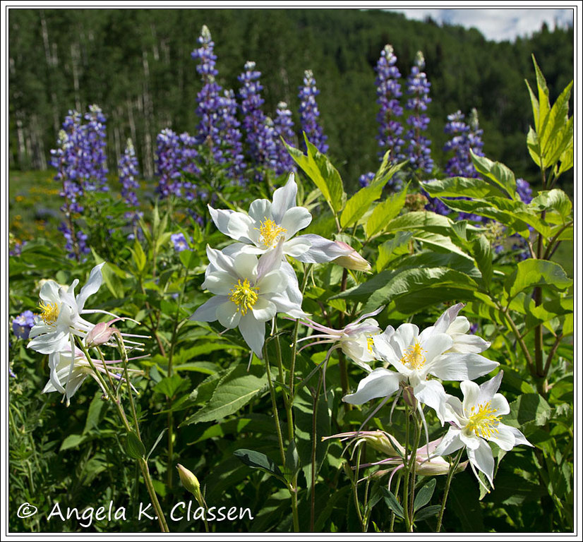 Wildflowers, Kebler Pass Road, near Crested Butte, Colorado