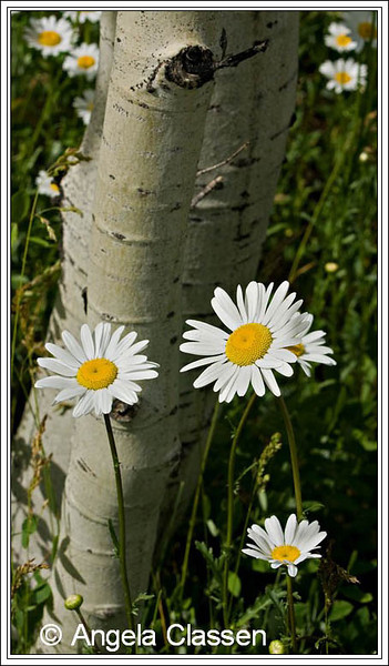 Daisies bloom in an aspen grove near Durango, Colorado