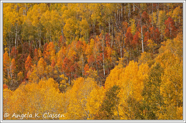 Aspens ranging in color from lime green to gold to orange pepper a mountainside on the Buffalo Pass Road near Steamboat Springs