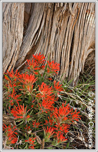 Indian paint brush, Colorado National Monument
