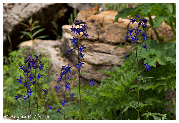 Delphinium, San Juan Mountains