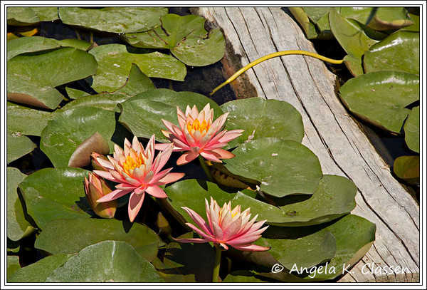 Lillies at the lilly pond, Western Colorado Botanical Garden, Grand Junction
