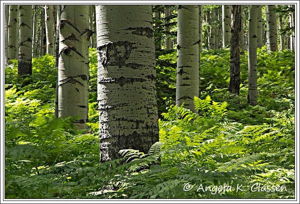 Forest ferns, Kebler Pass Road near Crested Butte