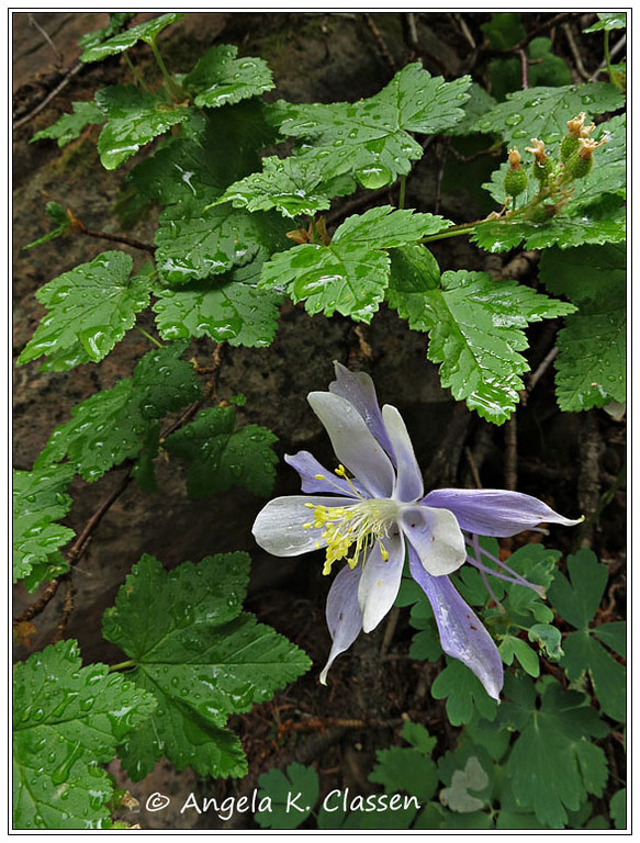 Columbine after a brief summer shower, La Sal Mountains, Utah